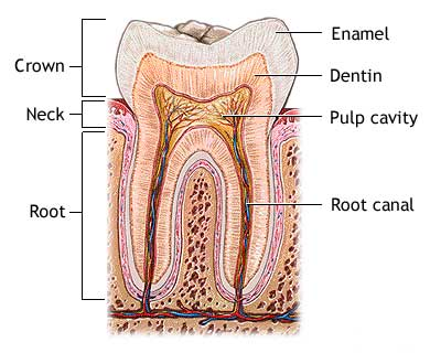 Tooth Anatomy Parkside Family Dental