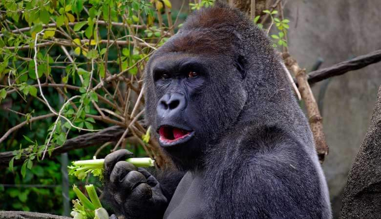 gorilla with mouth open, holding green plant