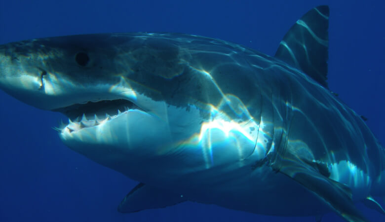 Closeup of a Great White Shark with scary teeth, like the shark from the movie Jaws
